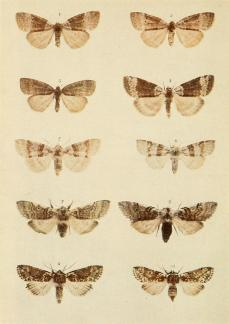 moths_of_the_british_isles_plate039